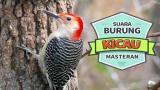 Music Video Suara Burung PELATUK Membuat Burung Menjadi Relax Dan Cepat GACOR Gratis
