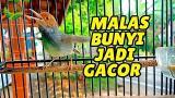 Video Musik Prenjak Tamu Gacor Untuk Pancingan Burung MACET MALAS BUNYI !!! Terbaik di zLagu.Net